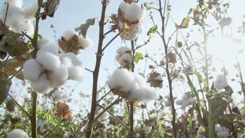 Cotton field plantation