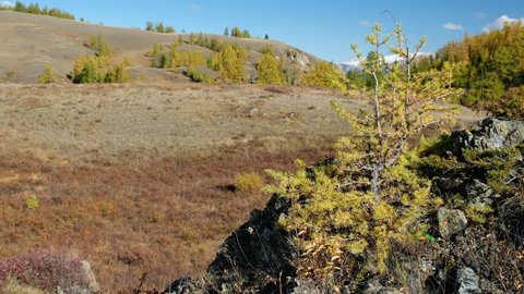 Video panorama of North Chuiskiy Ridge with stones on foreground and larch forest on background. Autumn, trees are in fall yellow colors. Altai, Siberia, Russia