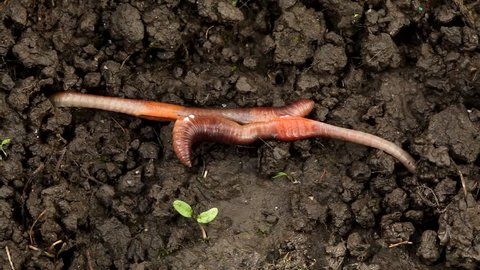 Earthworm mating, Lumbricus terrestris. The hermaphrodite invertebrates mate on the surface with part of their bodies still underground Movie about mating finishing. Carpathian Basin, Europe.