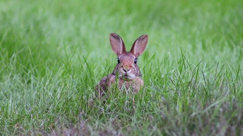 Close up of rabbit in tall grass in the fall in New England, close up of bunny rabbit face, rabbit chewing on grass in tall grass with big ears, baby bunny rabbit in tall grass at dusk. Lonely bunny.