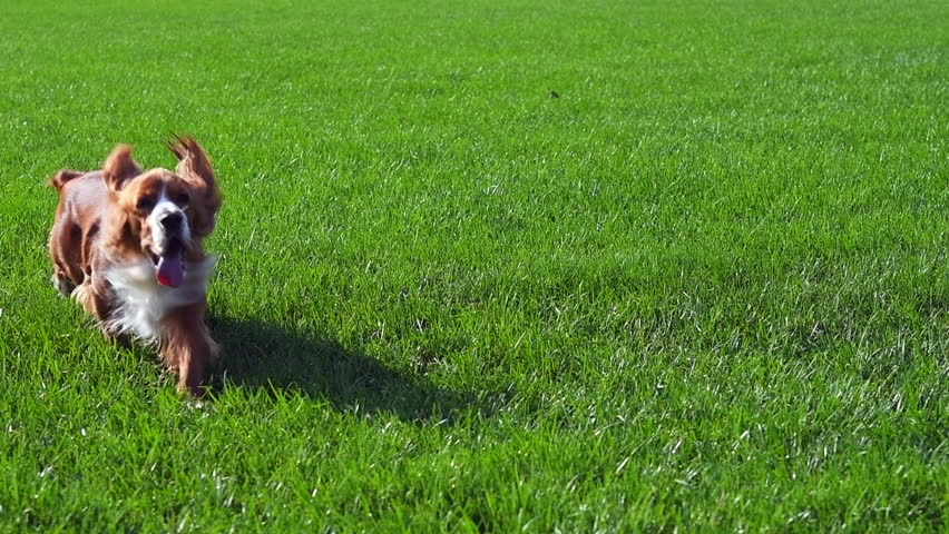 Slow motion of a Cocker Spaniel dog pet playing on a green grass field during the day