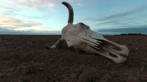 Cow skull on dry autumn agriculture field and morning sunrise light, time lapse