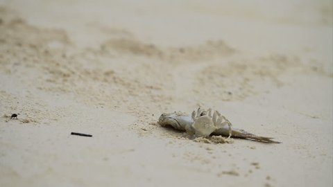 Time lapse, Ghost crab's, Horned Ghost Crab or Horn-eyed Ghost Crab (Ocypode ceratophthalmus) eats a fish on the beach.
