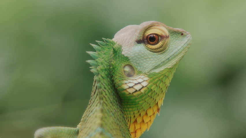 Beautiful close up of a chameleon looking at the camera in front of a green nature background an endless loop , seamless looping, cinemagraph