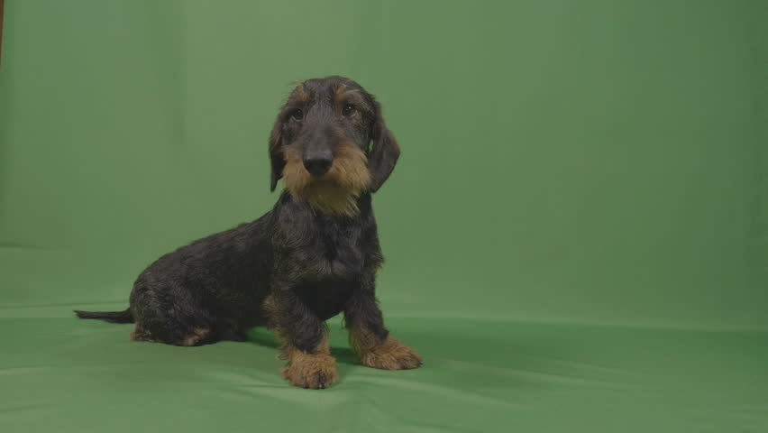 Lovely wirehaired dachshund puppy with sad adorable eyes sniffing and sitting in front of green screen #1017646972