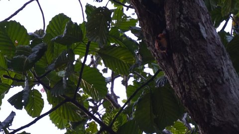 Red giant flying squirrel (Petaurista petaurista) peeking out of nest in dead branch jumps and soars to another tree in jungle rainforest canopy