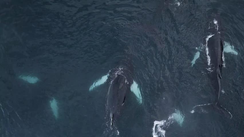 Aerial shot of humpback whales near Qeqertarsuaq, Disko Bay, North Greenland