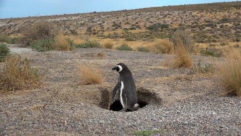 Magellanic Penguin (Spheniscus magellanicus) near the nest burrow. Punta Tombo, Chubut, Argentina