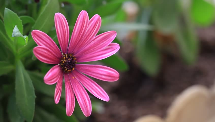 Wild flowers are flowers that occur in a manner that was not pretty pink african daisy in the garden shined at sun osteospermum or cape rain daisy mightylinksfo