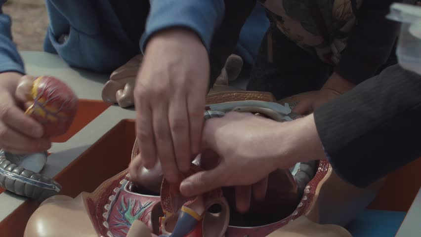 People are fitting together organ pieces of medical educational plastic colored human body anatomy model placed in box for understanding how organs and systems interact. | Shutterstock HD Video #1018066972