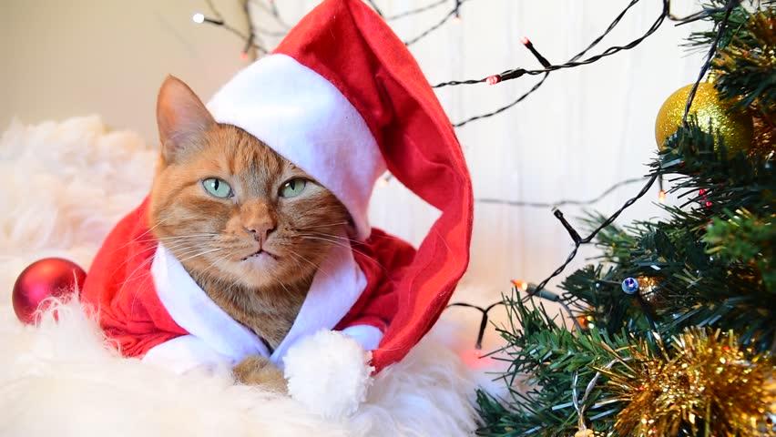 Red cat in christmas hat Santa costume near christmas tree   Shutterstock HD Video #1018110052