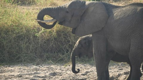 elephant drinking from a hole it dug in a dry river bed at tarangire national park in tanzania
