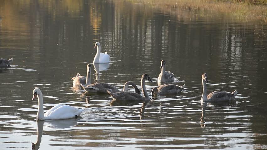 Beautiful Swans bird in the pond, animal wildlife | Shutterstock HD Video #1018163512