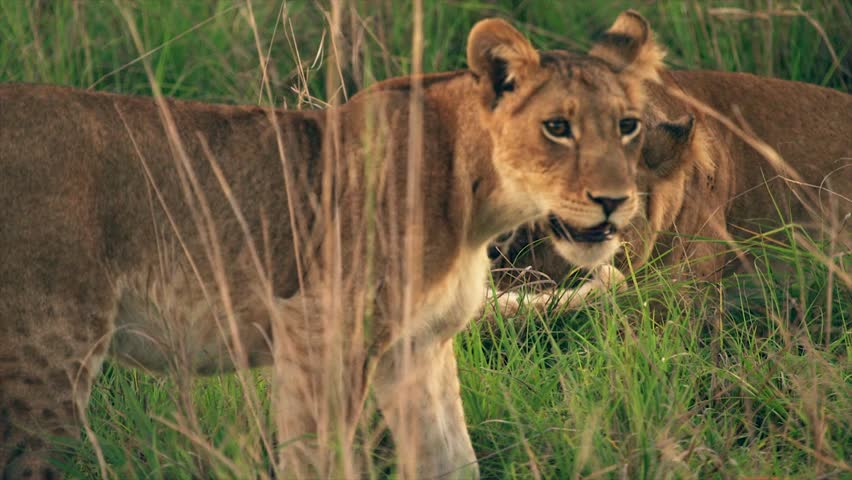 Medium and wide-angle shot of lioness and cubs in Uganda, Africa | Shutterstock HD Video #1018164502