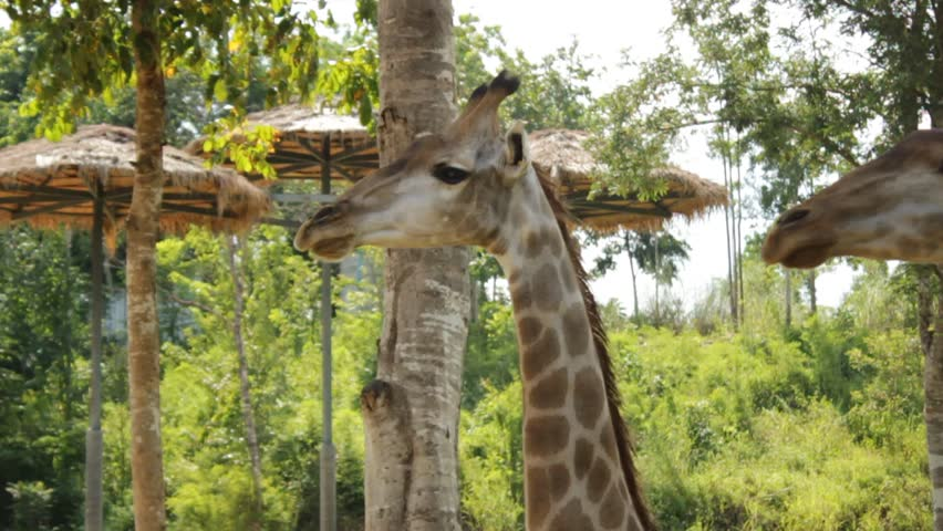 Male Giraffes up close at a feeding station on an animal sanctuary waiting to be fed in Central Thailand, Southeast Asia | Shutterstock HD Video #1018185052