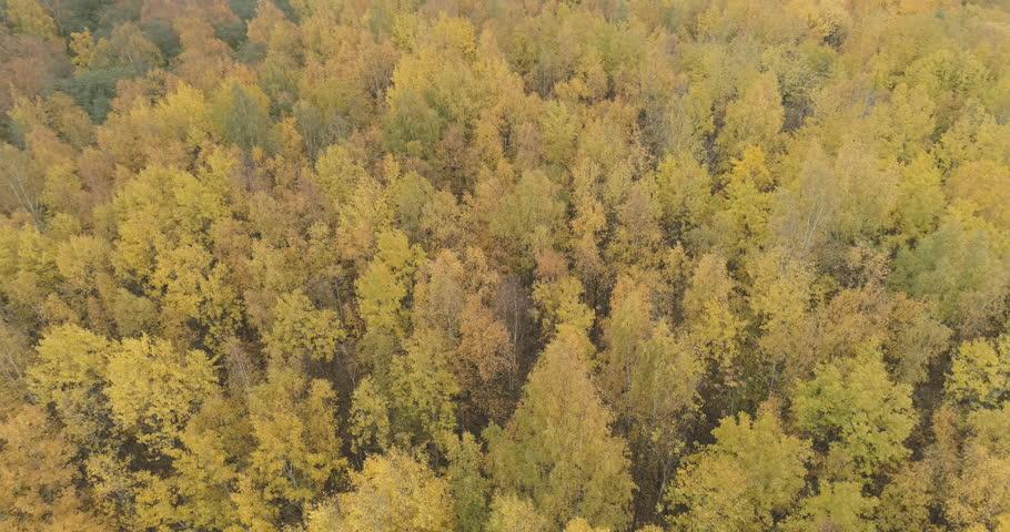 Aerial orbit shot over yellow golden birch forest in autumn | Shutterstock HD Video #1018201732