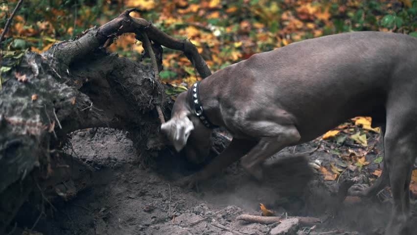 Slow motion of a hunting dog breed Weimaraner digging a hole in the ground in forest