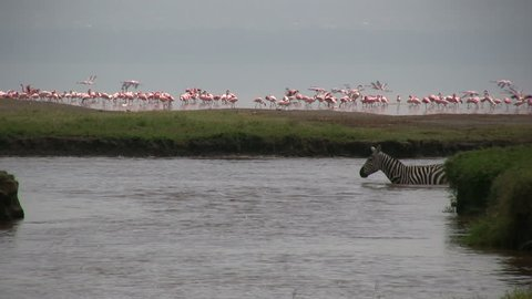 Zebras cross a river with flamingos in the background.