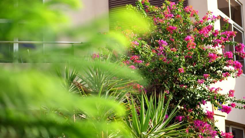 Bougainvillea Flowers Bush With Beautiful Stock Footage Video 100