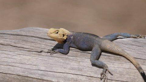 Agama lizard on a tree trunk in Senegal, Africa