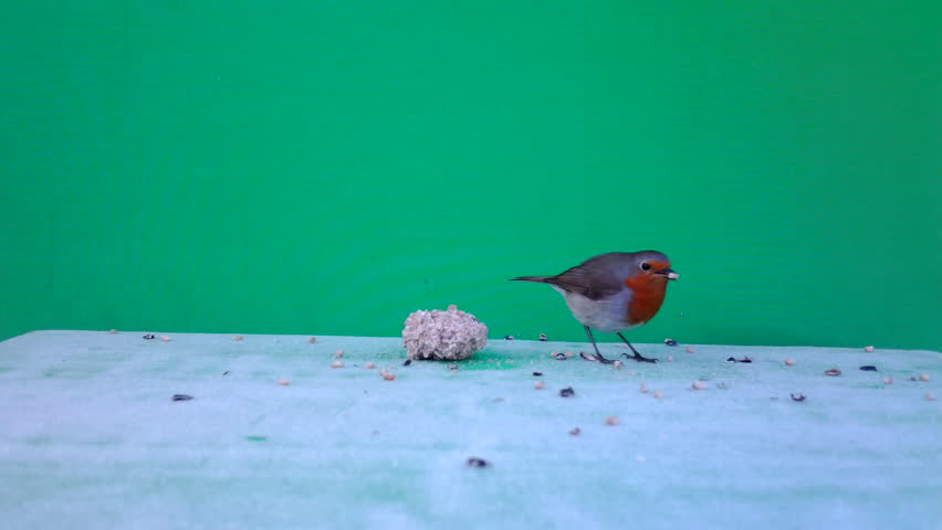 European Robin (Erithacus rubecula or robin redbreasteats) eats a ball of seeds with Green Screen or Chromakey in a sunny winter day. Documentary about Nature, Birds and Wildlife Full HD Video. | Shutterstock HD Video #1018661632