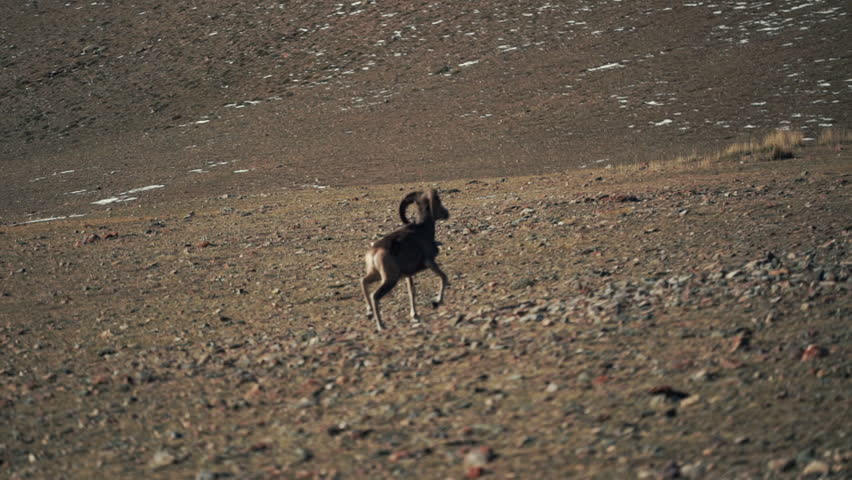 The argali, or the mountain wild sheep is on the foothills | Shutterstock HD Video #1018863292