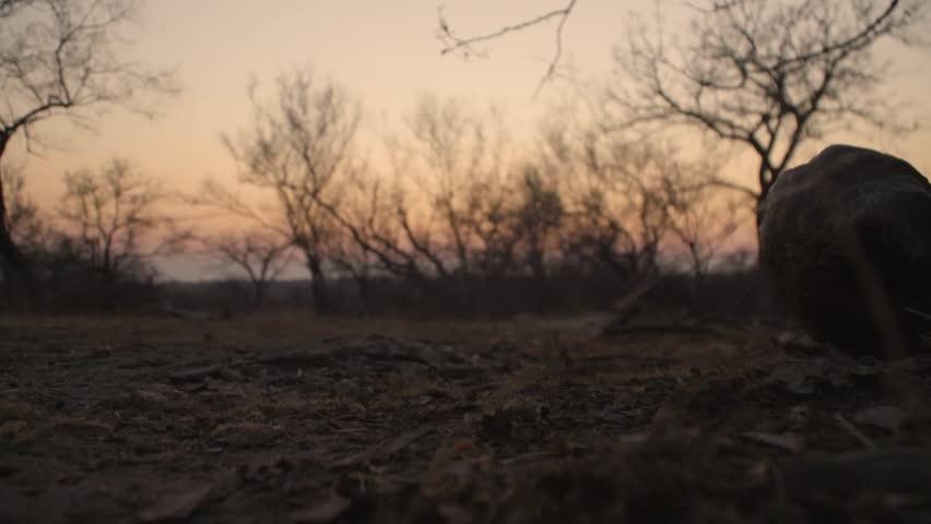 Ground pangolin walking past camera sunset close shot