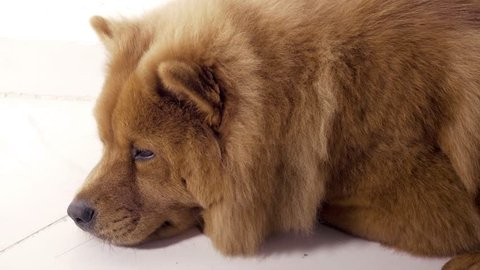 Lovely cute and concentrated Chow Chow dog relaxing on the floor