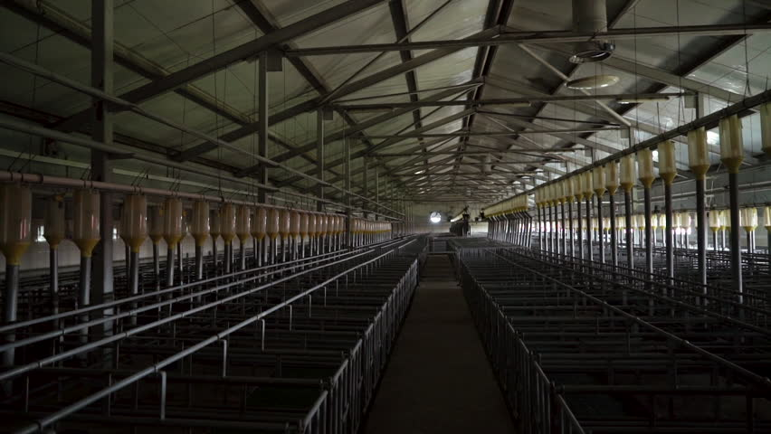 Modern industrial farm for breeding pigs, modern tech automated room insemination | Shutterstock HD Video #1019244322