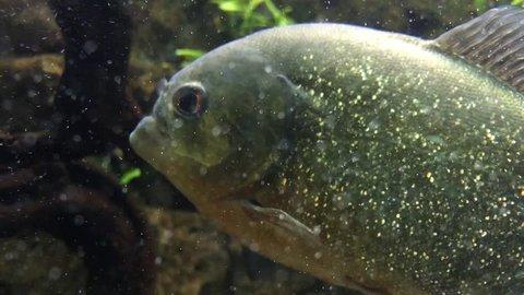 Schools of piranha swimming in the aquarium