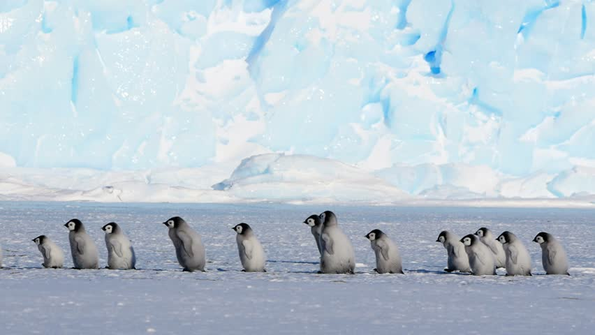A line of Emperor Penguin chicks and adult chaperone walking across screen in front of an iceberg. #1019563882