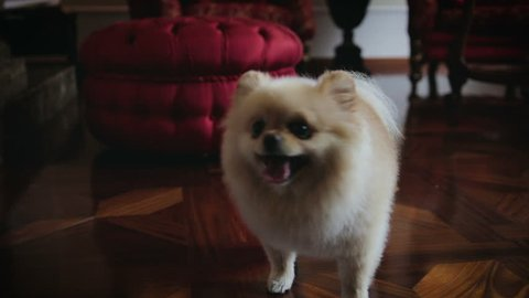 Funny Pomeranian dog runs around, playing at home on the wooden floor, sticking out his tongue and asks for a yummy, at the feet of the hostess, close-up