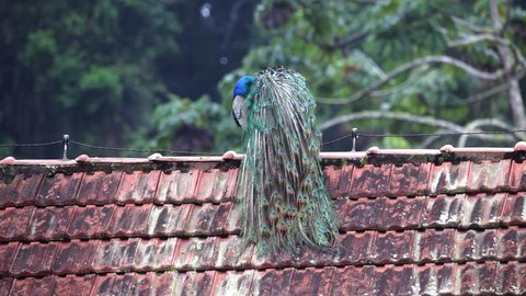 Indian peafowl perched on the roof of a house scene. The bird wipes its wings and looks around. Video recorded in Southeast of Brazil. Atlantic Forest Biome.