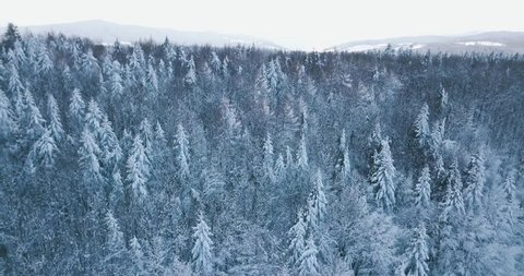 Flight up over the mountain winter snowy spruce and pine forest with frozen trees and lawns covered with snow. Top view natural landscape from drone in 4k.