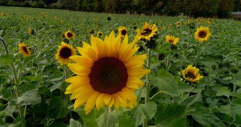 Gimbal / Aerial Sunflower Sun Flower field farm in Germany