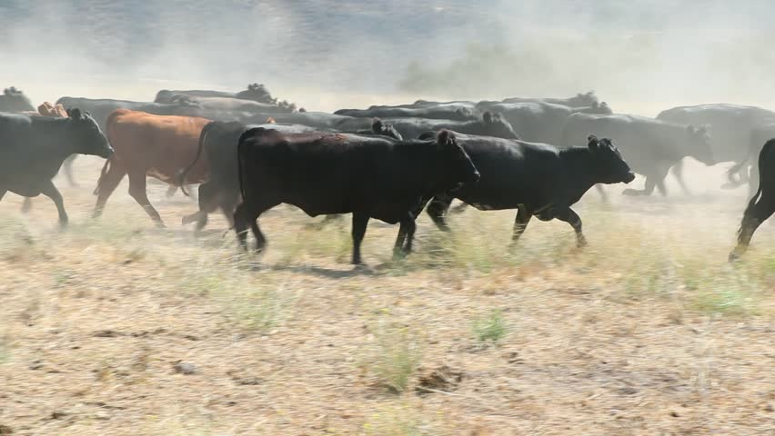 Herd of black Angus cattle running in circles