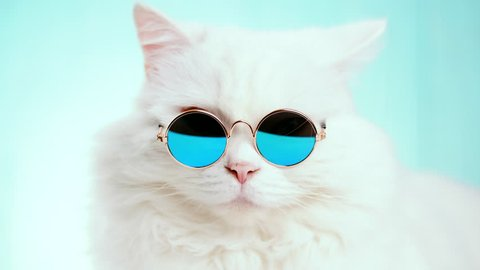 Portrait of highland straight fluffy cat with long hair and round sunglasses. Fashion, style, cool animal concept. Studio footage. White pussycat on blue background. 4k
