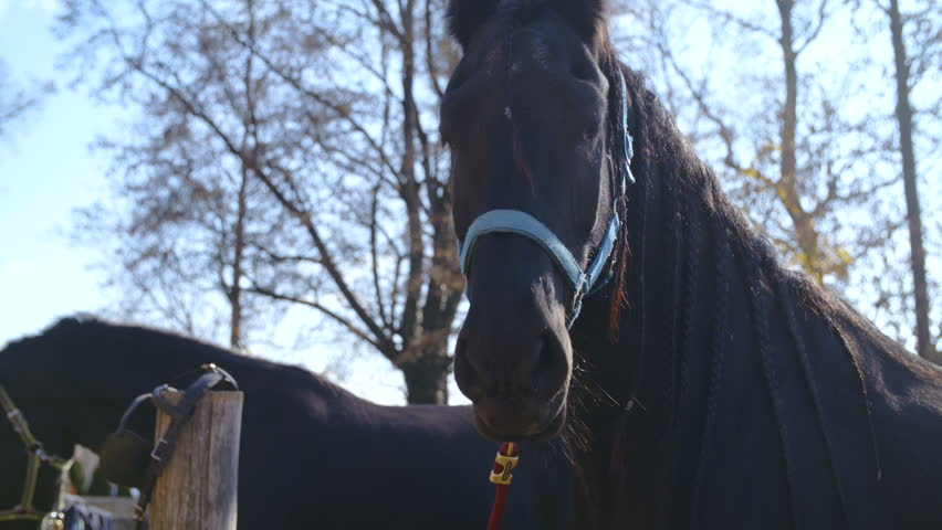 Black Friesian horse head 4K. Long shot of black horse head in focus tied up to halter. #1019885632
