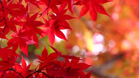 Japanese autumn image, colored leaves. The Japanese colored leaves are very bright.