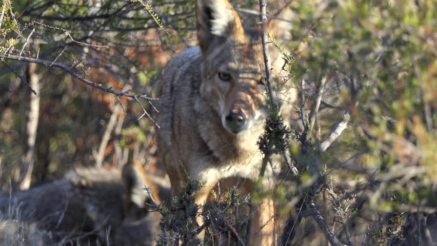 Close up of wild Coyotes peering through heavy brush.  Shot taken at Santa Susana Pass State Historic Park in Los Angeles California. | Shutterstock HD Video #1020101992
