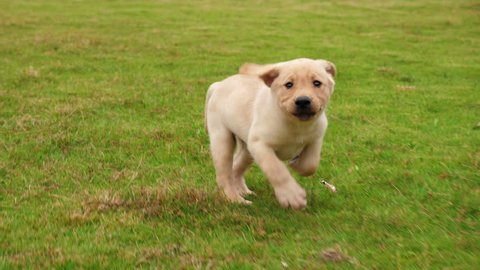 One lovely puppy dog Labrador running to the camera outdoor on the grassland, 4k