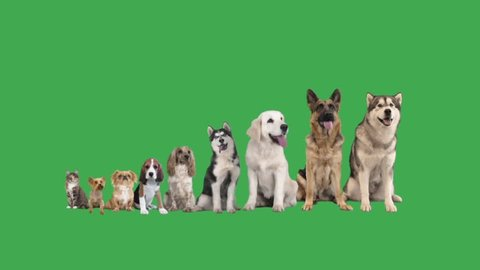 Malamute and set of pets on green screen