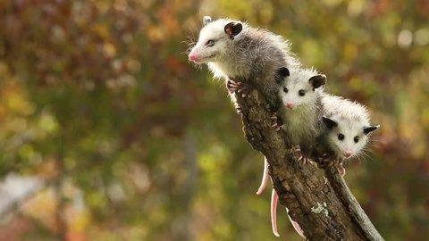 Virginia opossum, cute babies in fall agnieszka bacal