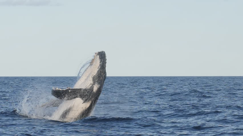 spectacular 17% slow motion shot of a humpback whale calf leaping at merimbula in new south wales, australia- originally recorded at 180p #1020526702