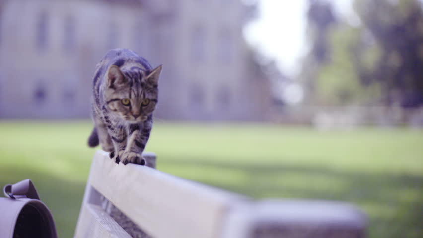 Young British tabby cat walking on bench close up HD. Cute small kitten walk alone and slowly on wooden bench backrest with green nature in background. Walk towards the camera. | Shutterstock HD Video #1020660022