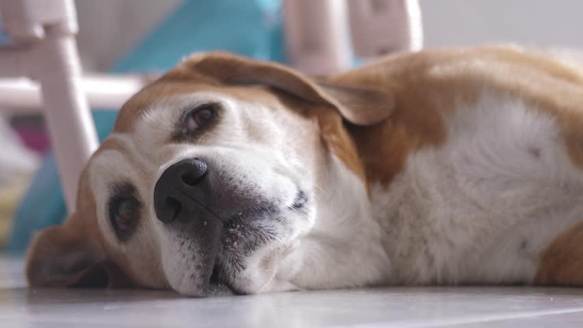 Dog beagle resting on floor 4k | Shutterstock HD Video #1020713602