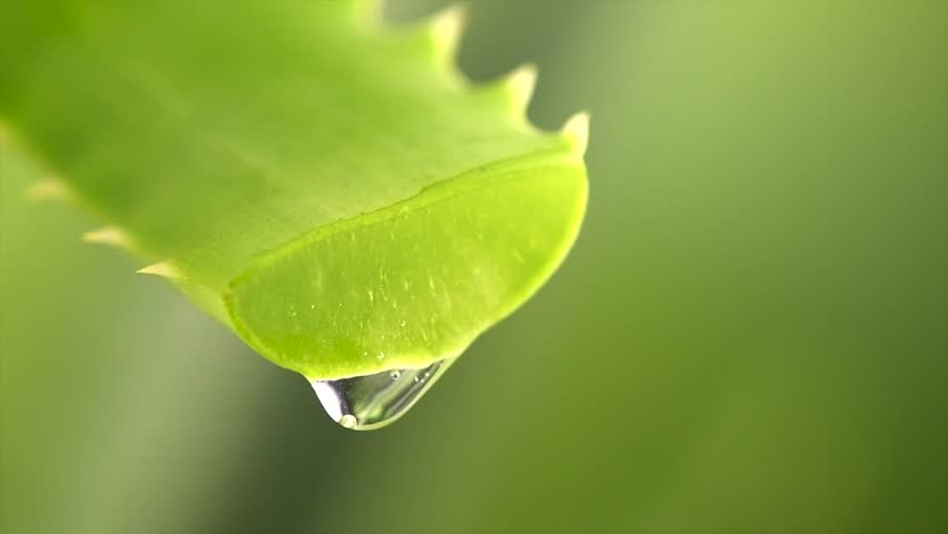 Aloe Vera Gel dripping from Aloe plant green leaf close-up. Skin care, healthcare, moisturizing concept. Drop of Aloevera fresh juice macro shot. Alternative medicine. Slow motion 4K UHD video | Shutterstock HD Video #1020791122