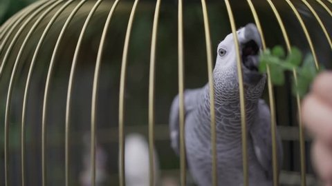 grey macaw parrot. Gray parrot in a cage. Feed the parrot in a cage
