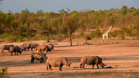 Group of white rhinos are grouped around an artificial waterhole with a giraffe at sundown in South Africa