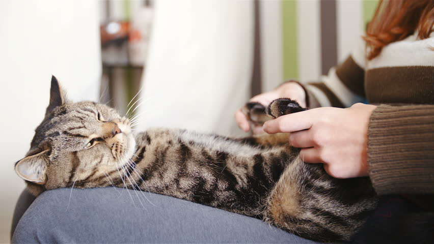 Cat lying on legs while having a paw message HD. Side shot slow motion of British breed tabby kitten in focus calmly resting on female legs while person hands message paws. | Shutterstock HD Video #1021069552